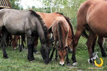 """Гуцульська порода коней """"гуцуликів"""" в Україні (Карпати, Закарпаття)!!!!(нажимай  на фото,відкр.)"""