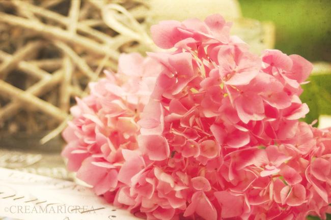 romantica ortensia rosa con bokeh