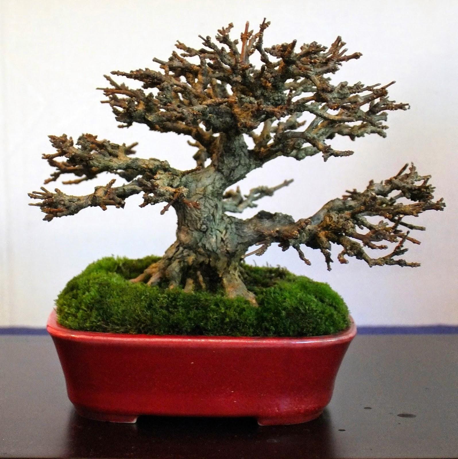 bonsai gemeinschaft einige bilder von der bcd ausstellung in mannheim. Black Bedroom Furniture Sets. Home Design Ideas