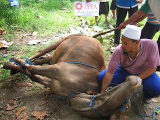 Menyembelih hewan cara Islam vs Barat