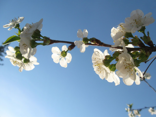 White-Cherry-Blossoms-With-Blue-Sky