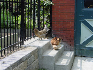 Two chickens in the sunlight on a cement stoop in Pittsburgh