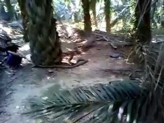 Ular King Cobra Yang Besar