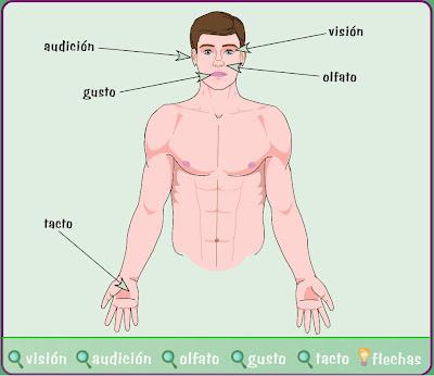 http://www.e-junior.net/juniornet/anatomy/swf/Bssentidos.swf