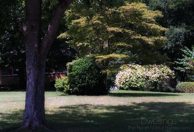 Huge hydrangea bushes!