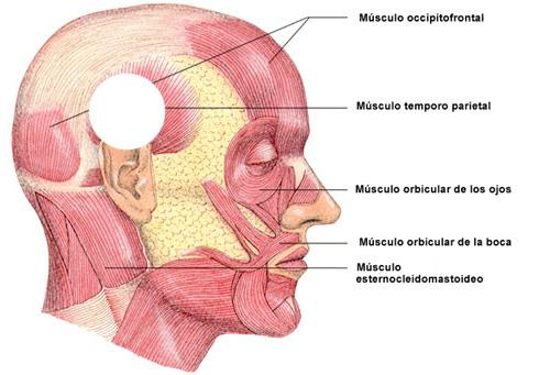 Descubramos la Anatomia: REGIONES DEL CUERPO HUMANO