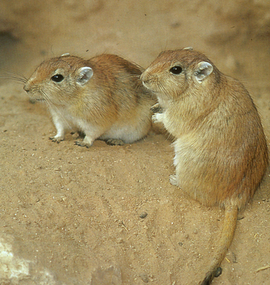 Any gerbil owners out there...?
