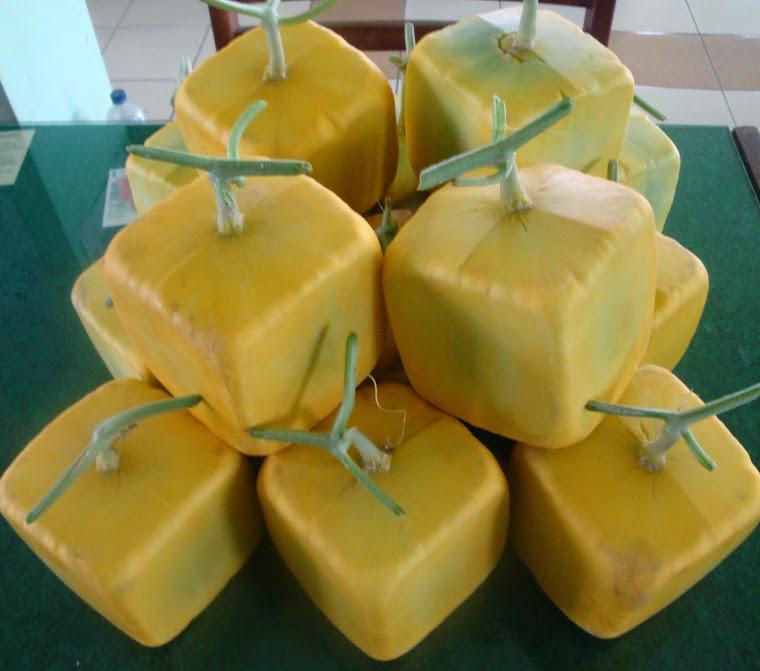 BUDIDAYA MELON GOLDEN LANGKAWI