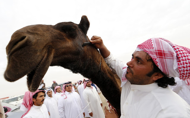 Camel Beauty Contest: Mazayin Dhafra Camel Festival in Pictures