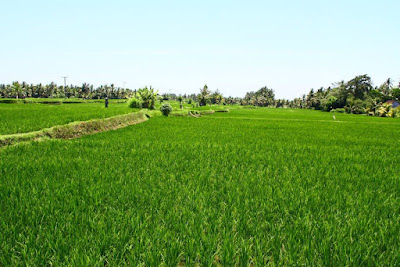 Ubud rice field view in Bali