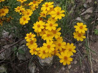 Tagetes lemmonii, Lemmon's Marigold