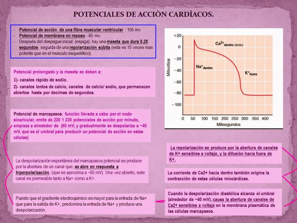 POTENCIALES DE ACCIÓN MIOCARDICOS.   Blog de Fisiología Médica