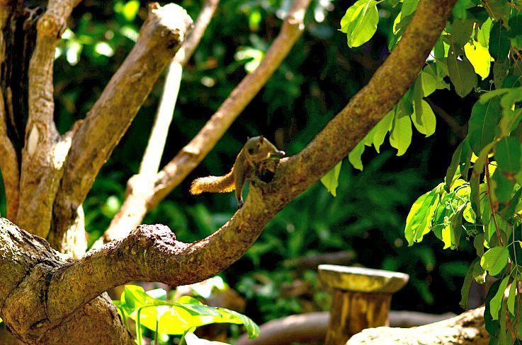 Squirl, Legian beach hotel tropical garden, Bali, Indonesia