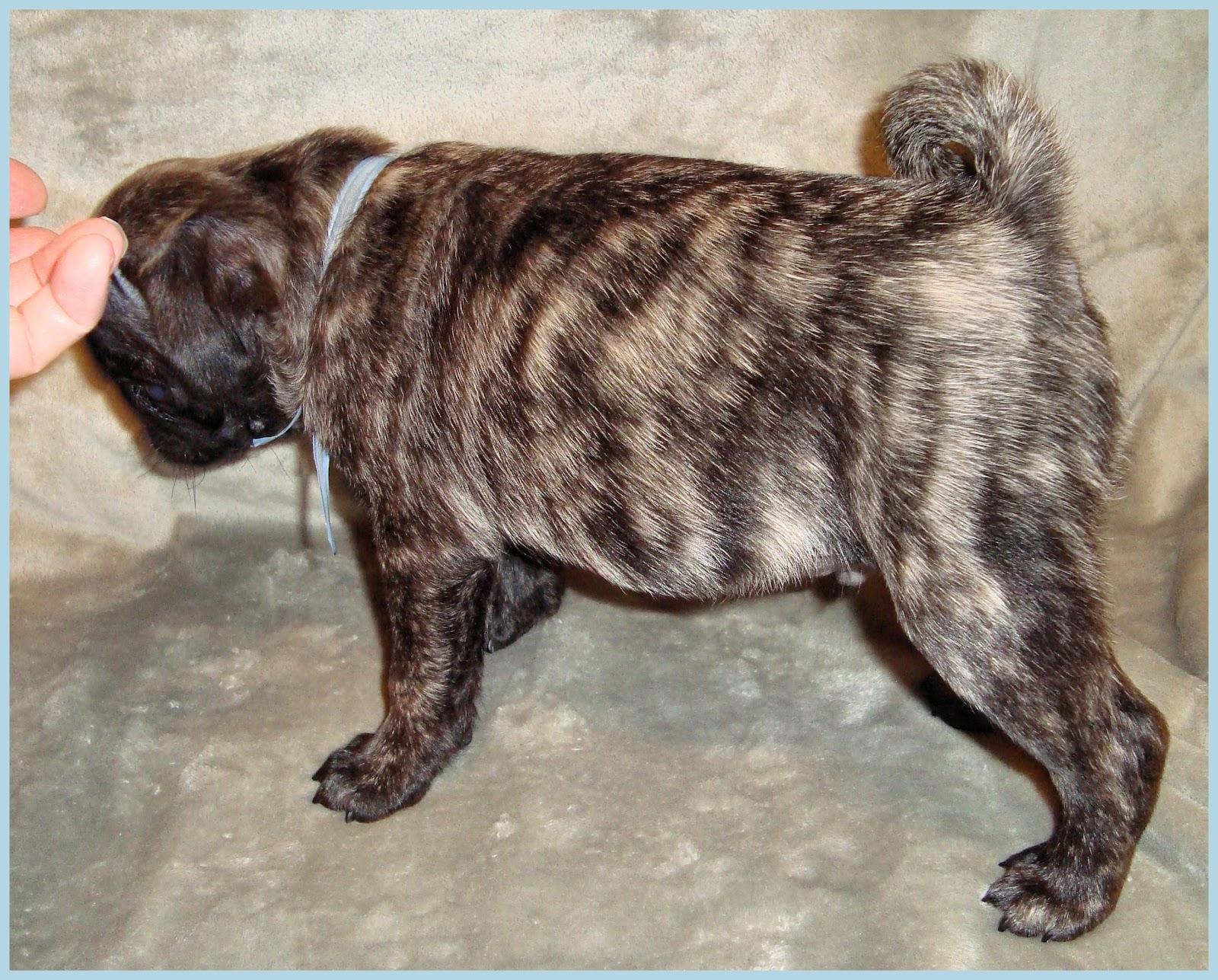 Similiar Black And Brindle Pug Puppy Keywords