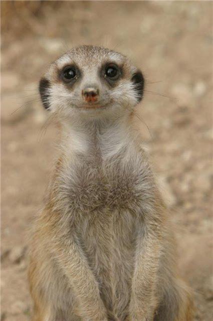 laughing meerkat