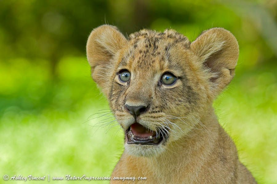 4. Two month old lionees cub at Khao Kheow Open Zoo. Utterly Astonished photo by Ashley Vincent