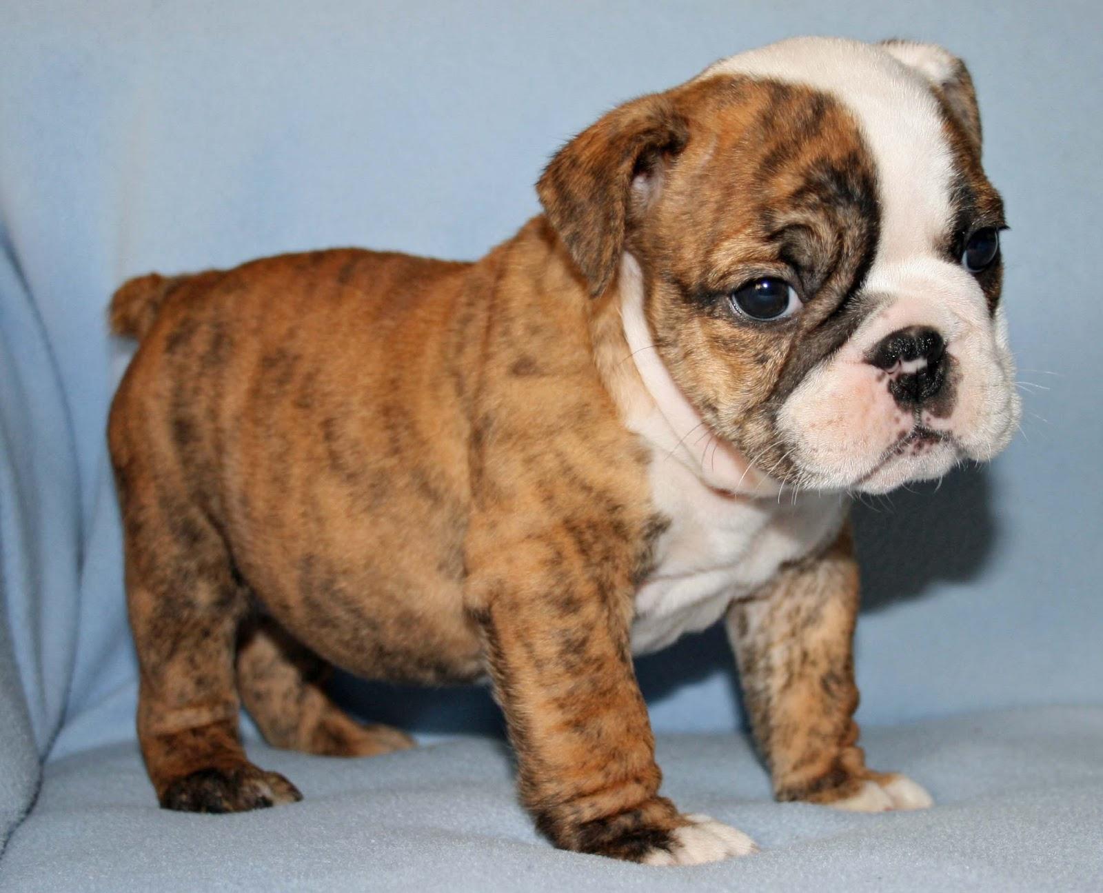 Cute Puppy Dogs: english bulldog puppies