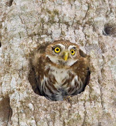 Burung Hantu Ferruginous Pygmy