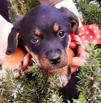 cucciolo taglia media adozione cane