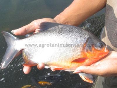 Ikan Bawal yang menggunakan Teknologi Organik NASA | Agro Nusantara