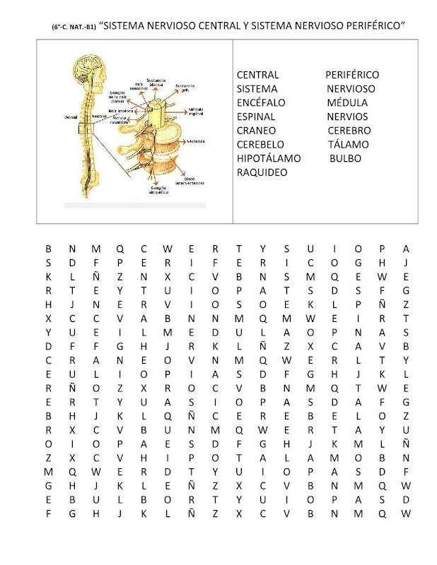 Sopa de letras sistema nervioso central y periférico