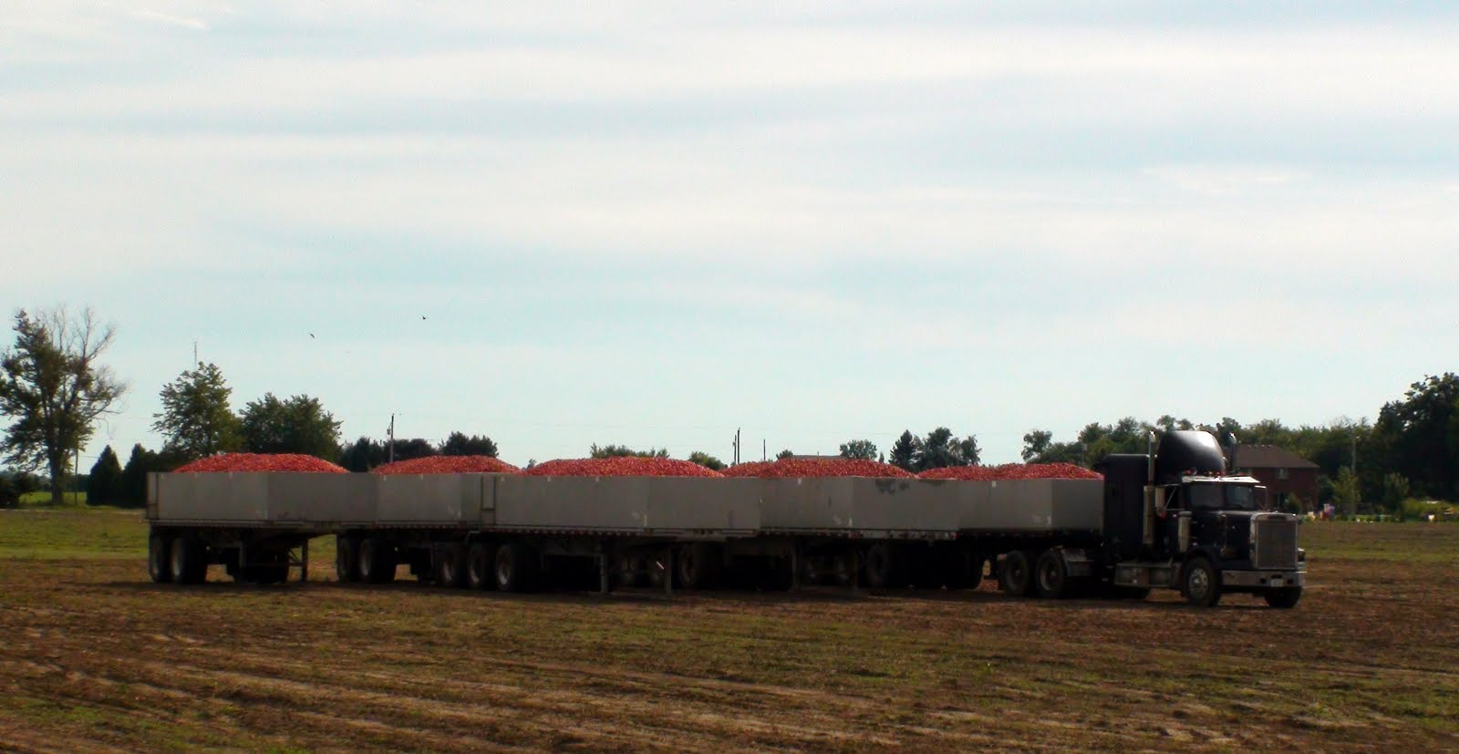 A truck hauling tomatoes to the plant.