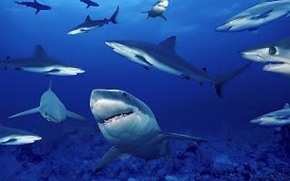 tiburones Fotografias de animales marinos