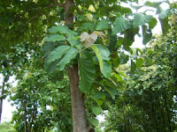 Teak trees produce valuable wood