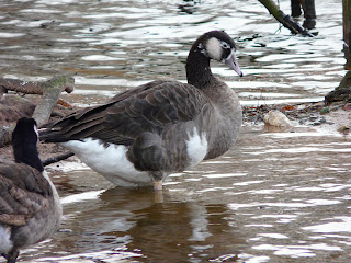 hybrid Goose, Calderstones Park