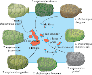 Caparazones de las distintas especies de tortugas gigantes de las Galápagos