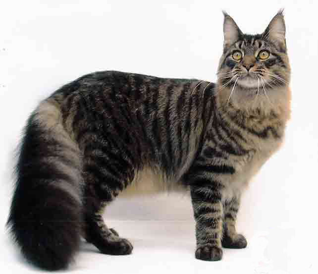 maine coon   pets cute and docile