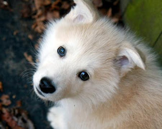 Alaskan Malamute Puppy Picture