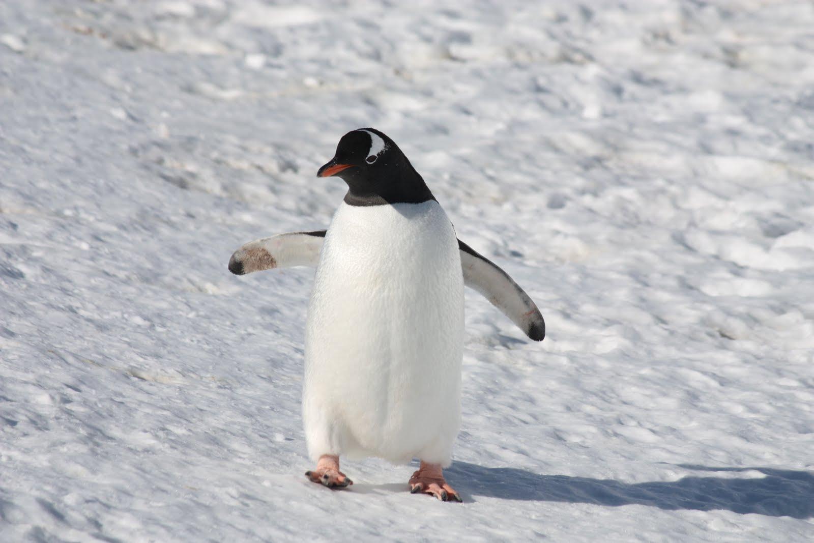 Pajareando: Las adaptaciones de los pingüinos del género Pygoscelis.