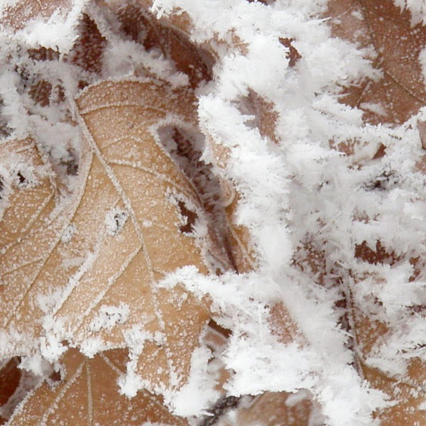 Frost on Oak Leaves - Snow Photograph
