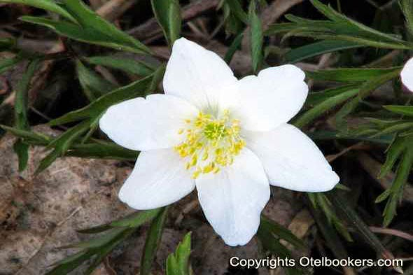 The Western Anemone Flower!
