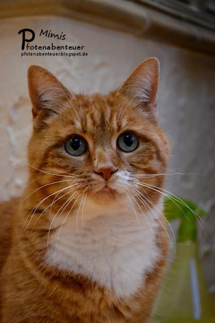 Katze Mimi guckt mit Kulleraugen ganz neugierig und aufgeregt.