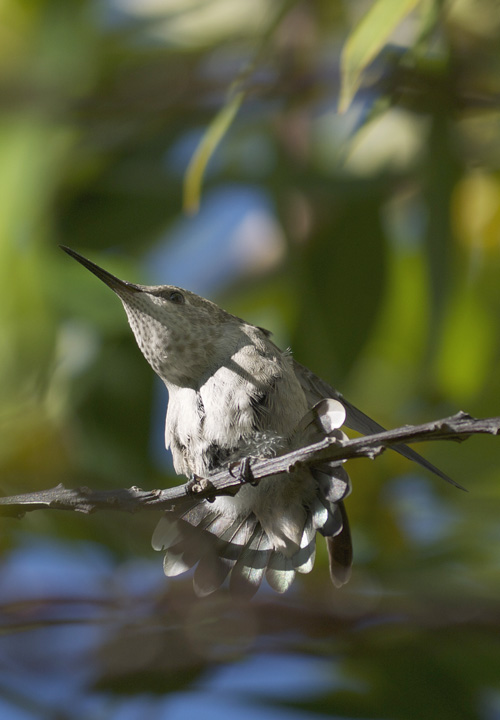 Stretching Fledgling Hummingbird