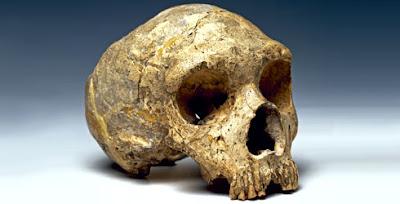 craneo del hombre de Neandertal Homo neanderthalensis