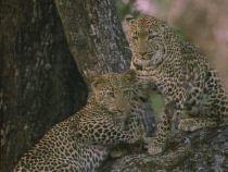 Documental, Leopardo, el rey de la noche
