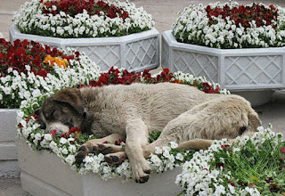 A dog falls asleep in a bed of flowers