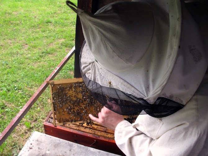 beekeeper in protective net suit removing frames of honeycomb for inspection