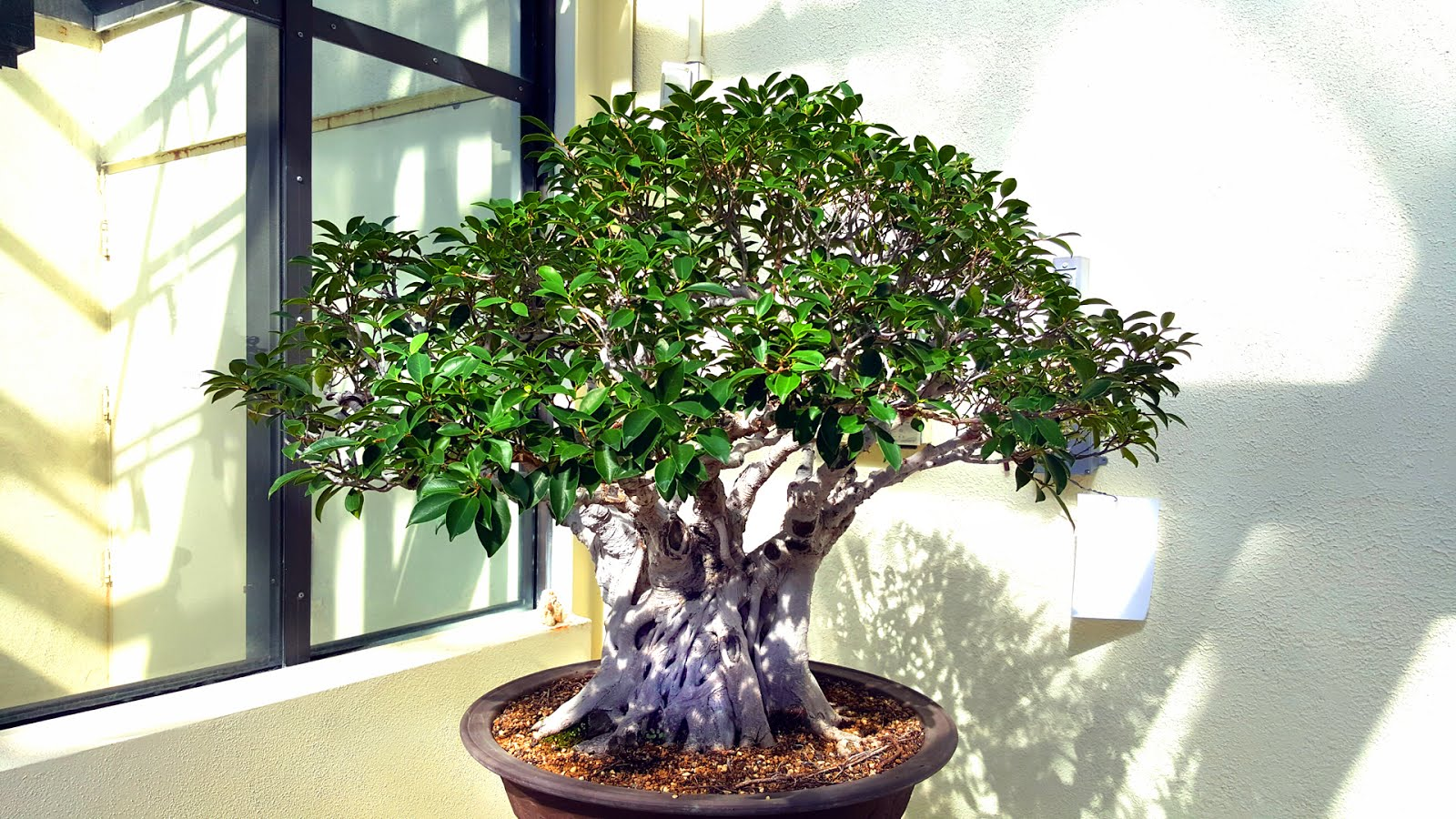 Bonsai misadventures indoor bonsai fact or fiction for Bonsai indoor