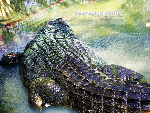 Traveling Morion Lets Explore Islands Morions - Meet worlds largest crocodile caught philippines