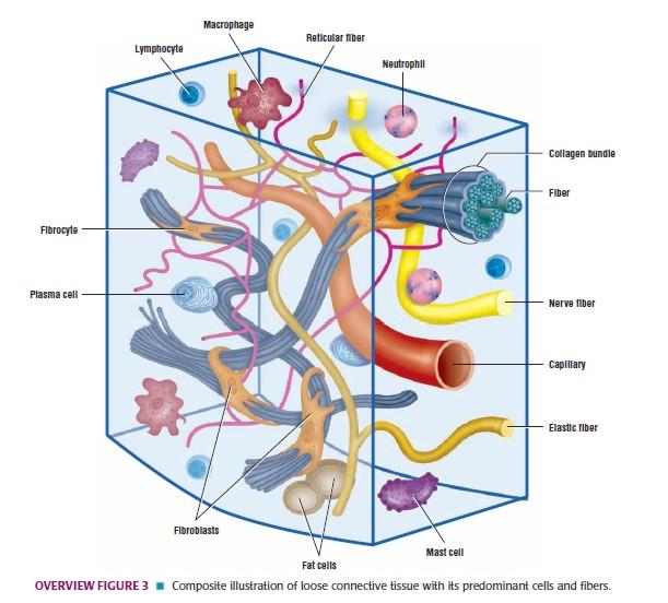 Histologi:Jaringan Ikat( Connective Tissue)