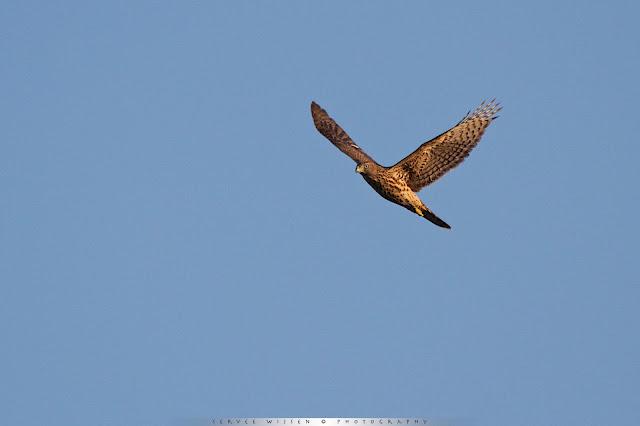 Havik - Goshawk - Accipiter gentilis
