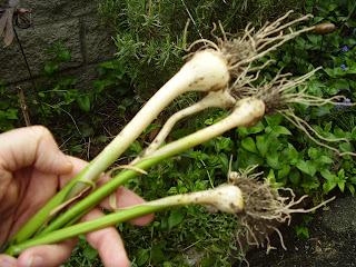 Verycountrypeople e 39 il momento dell 39 aglio selvatico for Aglio pianta