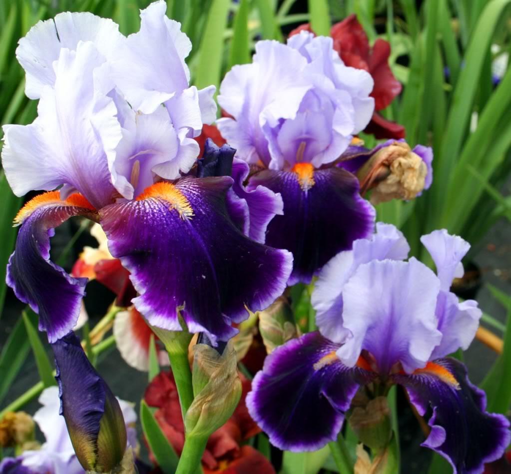 The painting struggle iris february challenge irises photograph izmirmasajfo