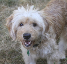 Joy, 25 lb Mini Goldendoodle