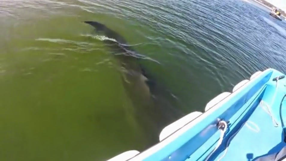 Large great white shark swims under small skiff