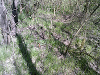 Biotope à Morchella elata avec Populus tremula